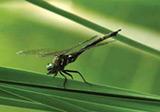 endangered dragonfly
